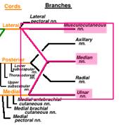 median nerve brachial plexus