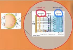 diagram of the retina